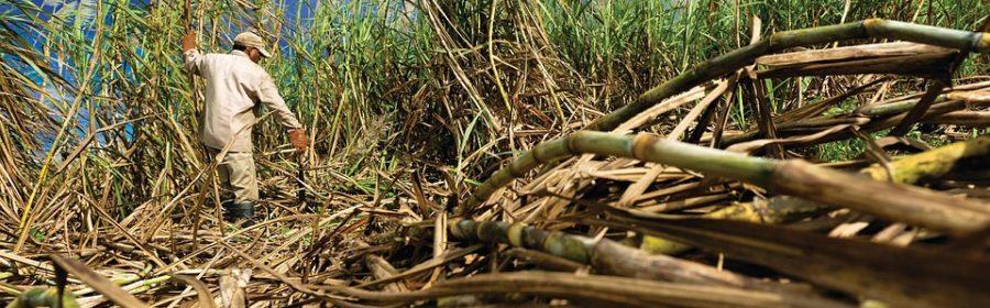 Planteur dans un champ de canne à sucre