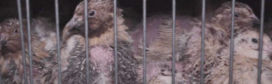 Des cailles entassées dans une cage