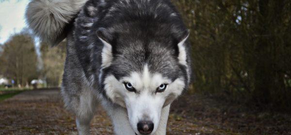 Un loup blanc et gris