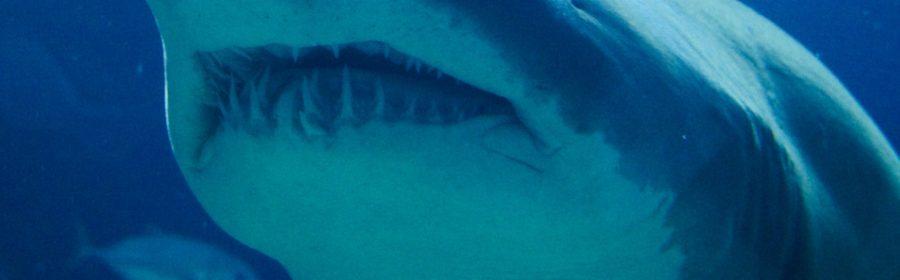 Un énorme requin bouledogue