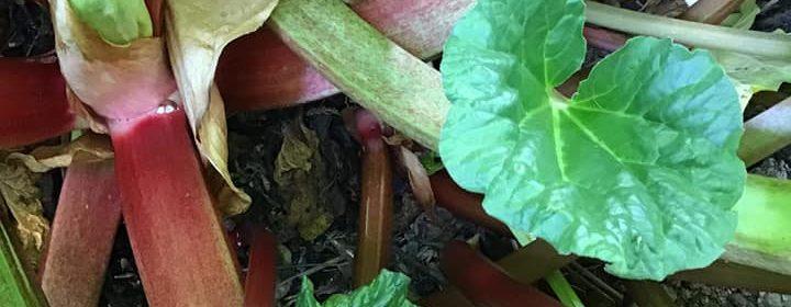 La culture d'une rhubarbe