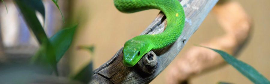 Un mamba vert sur une branche dans un terrarium
